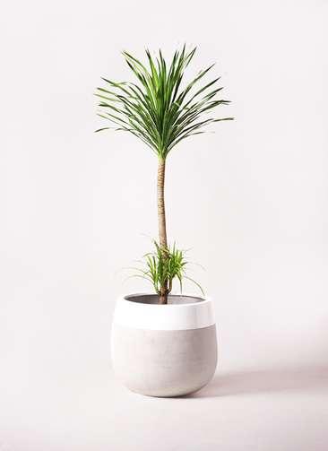 観葉植物 ドラセナ カンボジアーナ 10号 ファイバーストーンタウルス ミドル 白 付き