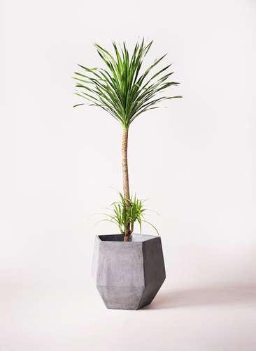 観葉植物 ドラセナ カンボジアーナ 10号 ファイバークレイGray 付き