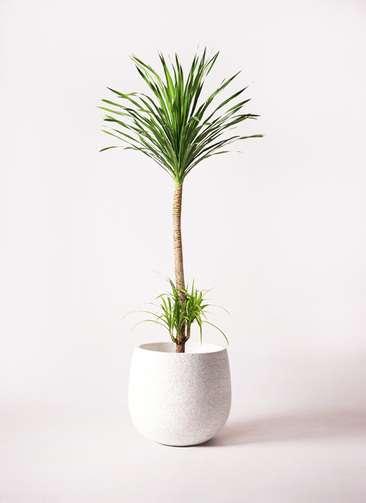 観葉植物 ドラセナ カンボジアーナ 10号 エコストーンwhite 付き