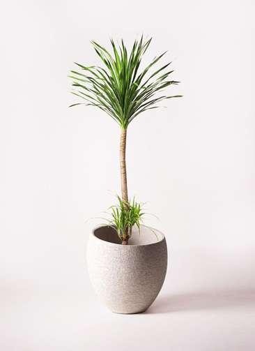 観葉植物 ドラセナ カンボジアーナ 10号 エコストーンLight Gray 付き