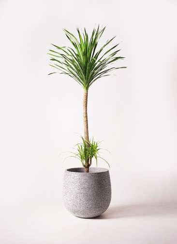 観葉植物 ドラセナ カンボジアーナ 10号 エコストーンGray 付き