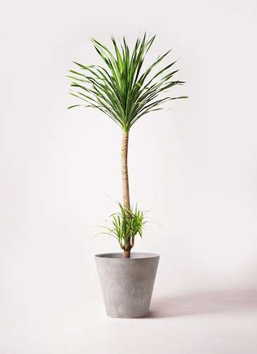 観葉植物 ドラセナ カンボジアーナ 10号 アートストーン ラウンド グレー 付き