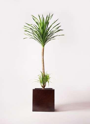 観葉植物 ドラセナ カンボジアーナ 10号 MOKU キューブ 付き