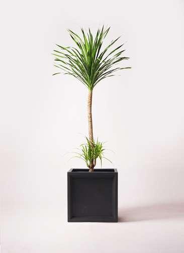 観葉植物 ドラセナ カンボジアーナ 10号 ブリティッシュキューブ 付き