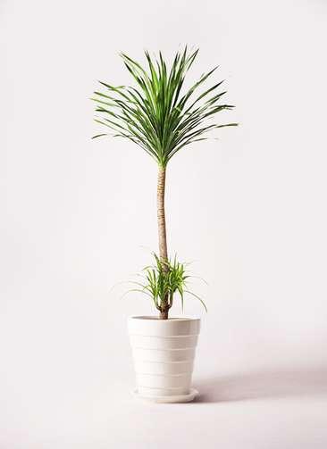 観葉植物 ドラセナ カンボジアーナ 10号 サバトリア 白 付き