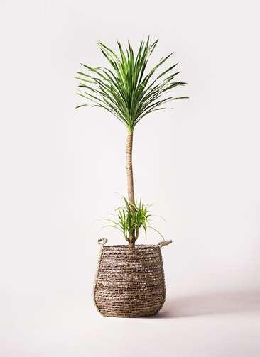 観葉植物 ドラセナ カンボジアーナ 10号 リゲル 茶 付き