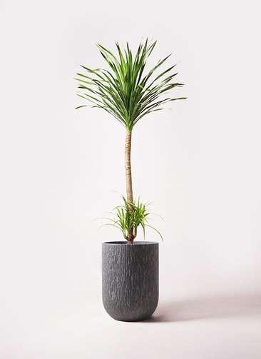 観葉植物 ドラセナ カンボジアーナ 10号 カルディナトールダークグレイ 付き