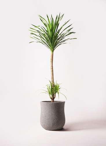 観葉植物 ドラセナ カンボジアーナ 10号 アローナラウンド グレイ 付き