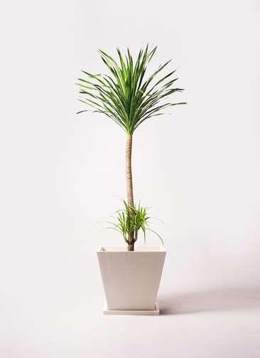 観葉植物 ドラセナ カンボジアーナ 10号 パウダーストーン 白 付き
