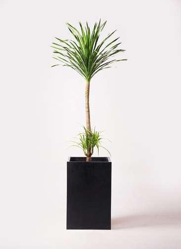 観葉植物 ドラセナ カンボジアーナ 10号 セドナロング 墨 付き