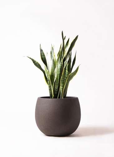 観葉植物 サンスベリア 8号 トラノオ テラニアス ローバルーン アンティークブラウン 付き