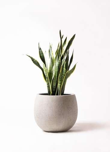 観葉植物 サンスベリア 8号 トラノオ テラニアス ローバルーン アンティークホワイト 付き