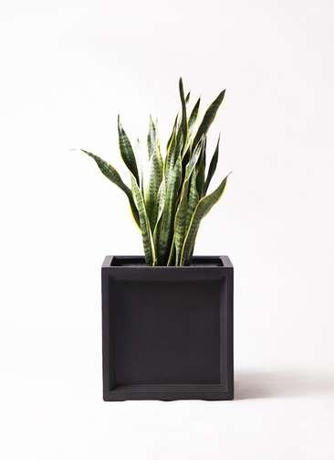観葉植物 サンスベリア 8号 トラノオ ブリティッシュキューブ 付き