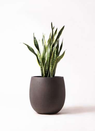 観葉植物 サンスベリア 8号 トラノオ テラニアス バルーン アンティークブラウン 付き