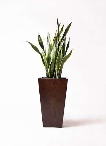 観葉植物 サンスベリア 8号 トラノオ MOKU スクエア 付き