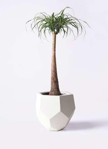 観葉植物 トックリラン 8号 ポリゴヘクサ 白 付き