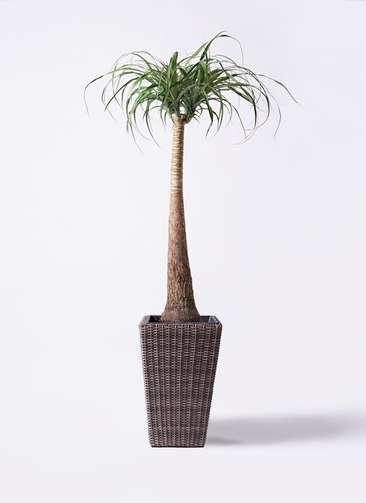 観葉植物 トックリラン 8号 ウィッカーポット スクエアロング OT 茶 付き