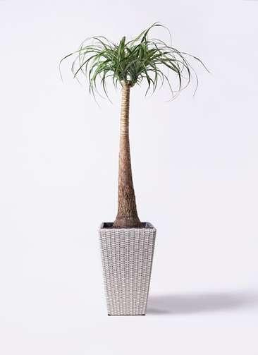 観葉植物 トックリラン ポニーテール 8号 ウィッカーポット スクエアロング OT 白 付き