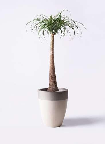 観葉植物 トックリラン ポニーテール 8号 ファイバーストーンカプリ サンディホワイト 付き