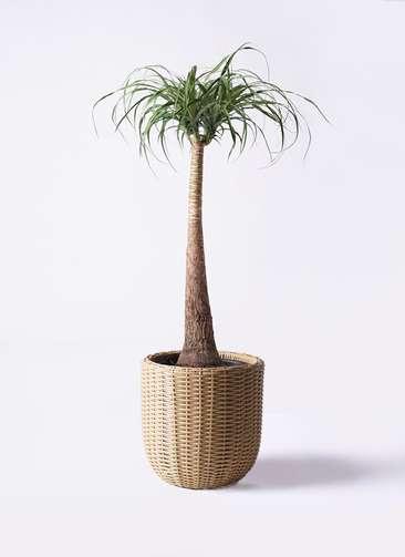 観葉植物 トックリラン ポニーテール 8号 ウィッカーポットエッグ ベージュ 付き