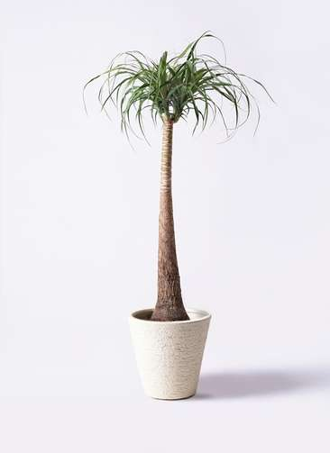 観葉植物 トックリラン ポニーテール 8号 ビアスソリッド 白 付き