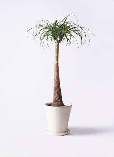 観葉植物 トックリラン 8号 サブリナ 白 付き