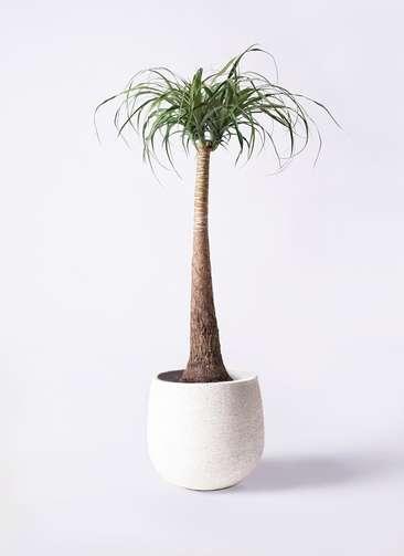 観葉植物 トックリラン ポニーテール 8号 エコストーンwhite 付き