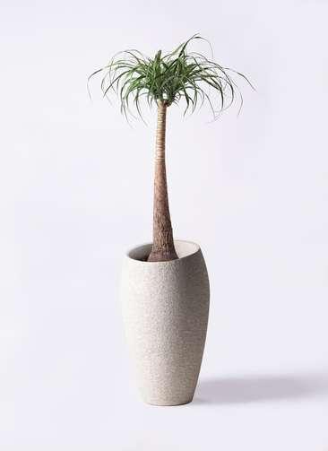 観葉植物 トックリラン 8号 エコストーントールタイプ Light Gray 付き