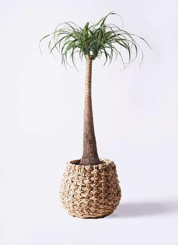 観葉植物 トックリラン ポニーテール 8号 ラッシュバスケット Natural 付き