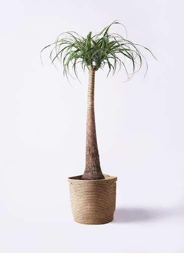 観葉植物 トックリラン ポニーテール 8号 リブバスケットNatural 付き