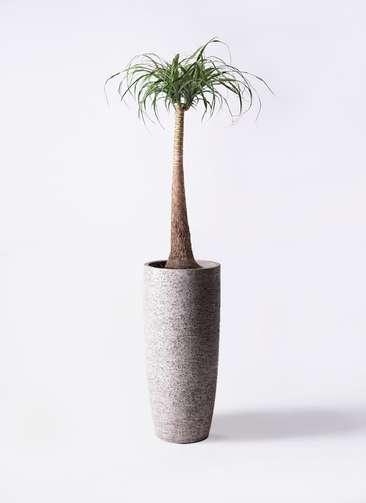 観葉植物 トックリラン ポニーテール 8号 エコストーントールタイプ Gray 付き