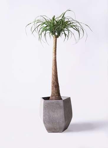 観葉植物 トックリラン ポニーテール 8号 ファイバークレイ Gray 付き