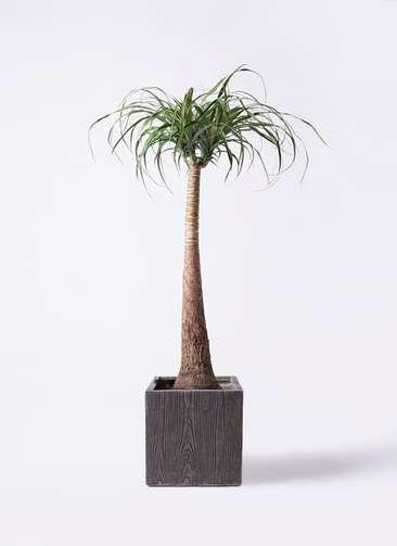 観葉植物 トックリラン ポニーテール 8号 ベータ キューブプランター ウッド 茶 付き