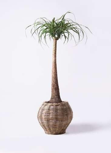 観葉植物 トックリラン ポニーテール 8号 グレイラタン 付き