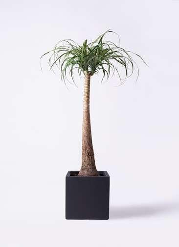 観葉植物 トックリラン ポニーテール 8号 ベータ キューブプランター 黒 付き