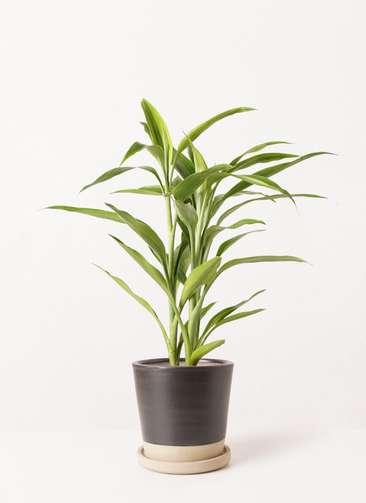 観葉植物 ドラセナ サンデリアーナ ゴールド 4号 マット グレーズ テラコッタ ブラック 付き