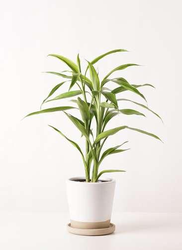 観葉植物 ドラセナ サンデリアーナ ゴールド 4号 マット グレーズ テラコッタ ホワイト 付き