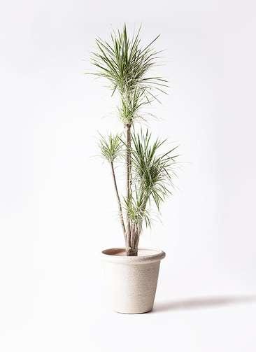 観葉植物 コンシンネ ホワイポリー 10号 ストレート ビアスリムス 白 付き