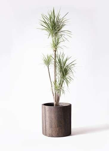 観葉植物 コンシンネ ホワイポリー 10号 ストレート アルファシリンダープランター 付き