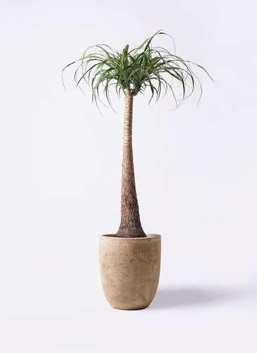 観葉植物 トックリラン ポニーテール 8号 ルーガ アンティコ アルトエッグ 付き