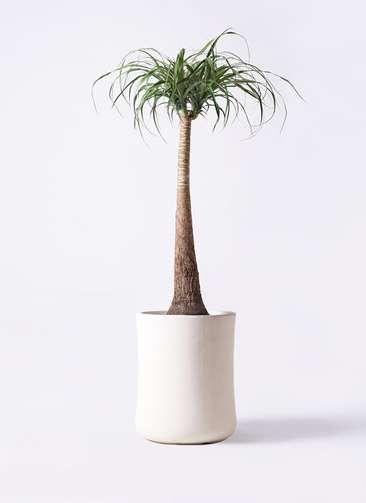 観葉植物 トックリラン ポニーテール 8号 バスク ミドル ホワイト 付き