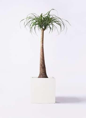 観葉植物 トックリラン ポニーテール 8号 バスク キューブ 付き