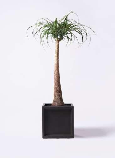 観葉植物 トックリラン ポニーテール 8号 ブリティッシュキューブ 付き