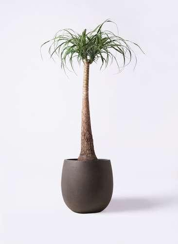 観葉植物 トックリラン ポニーテール 8号 テラニアス バルーン アンティークブラウン 付き