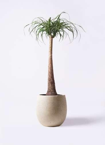観葉植物 トックリラン ポニーテール 8号 テラニアス バルーン アンティークホワイト 付き