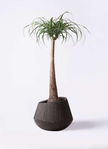 観葉植物 トックリラン ポニーテール 8号 エディラウンド 黒 付き
