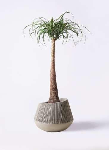 観葉植物 トックリラン ポニーテール 8号 エディラウンド グレイ 付き
