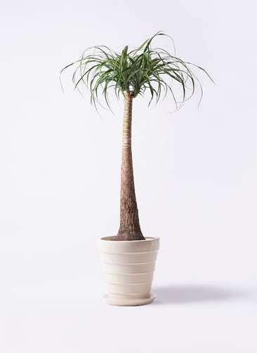 観葉植物 トックリラン ポニーテール 8号 サバトリア 白 付き