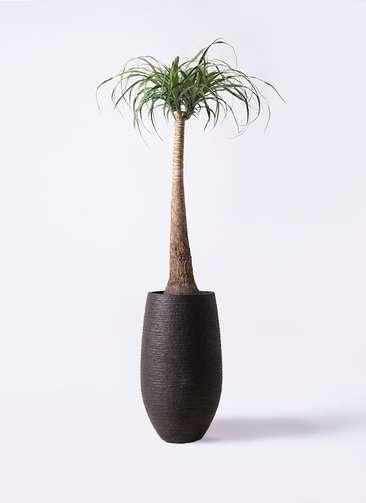 観葉植物 トックリラン ポニーテール 8号 フォンティーヌトール 黒 付き