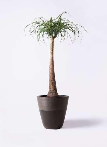 観葉植物 トックリラン ポニーテール 8号 ジュピター 黒 付き